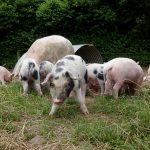 piglet farm